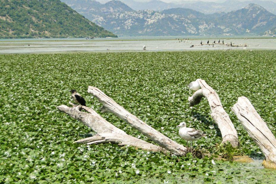 Jezioro Szkoderskie, Czarnogóra, ptaki