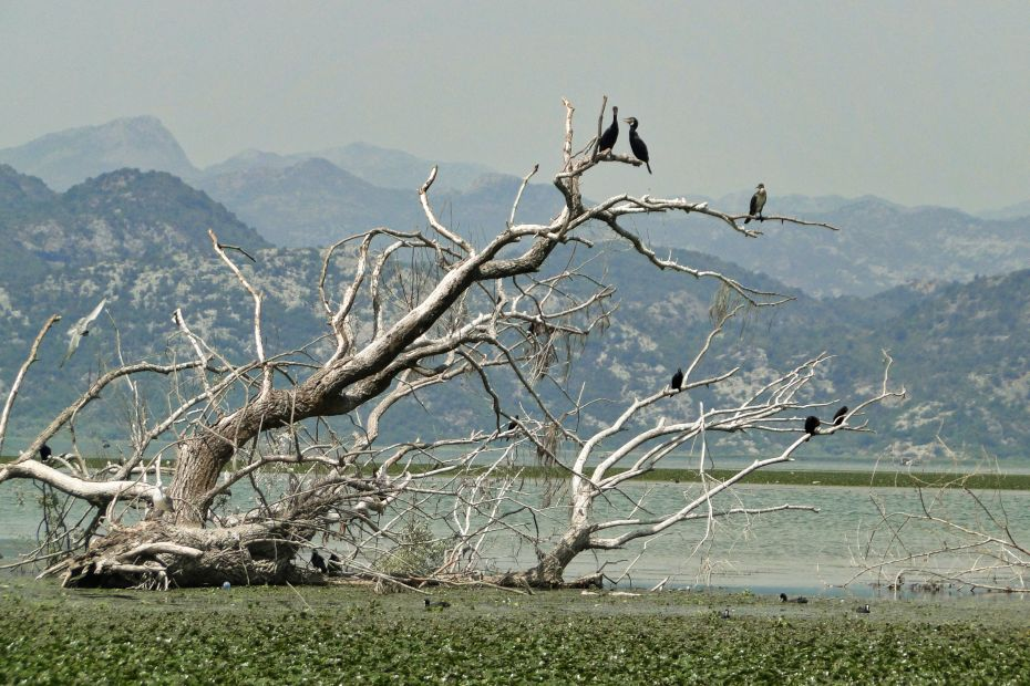 Jezioro Szkoderskie, ptaki na gałęzi