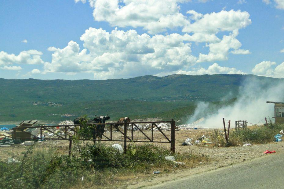 Bośnia i Hercegowina - krowy na granicy