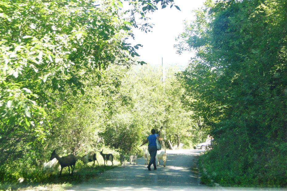 Kozy na drodze w Bośni i Hercegowinie